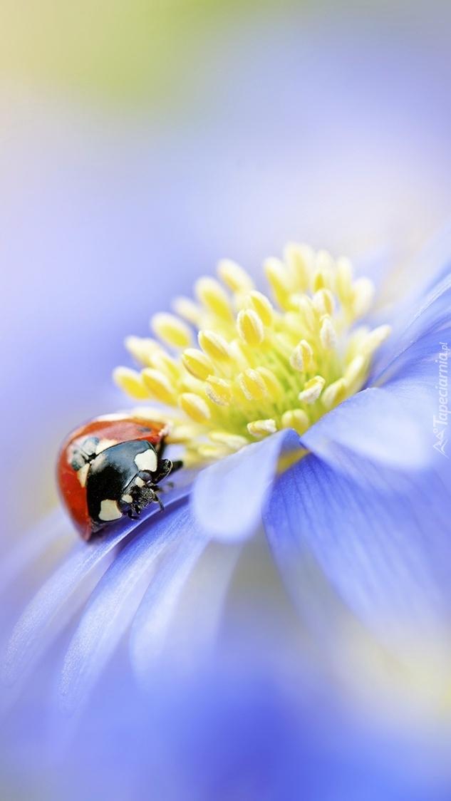 Biedronka na niebieskim kwiatku