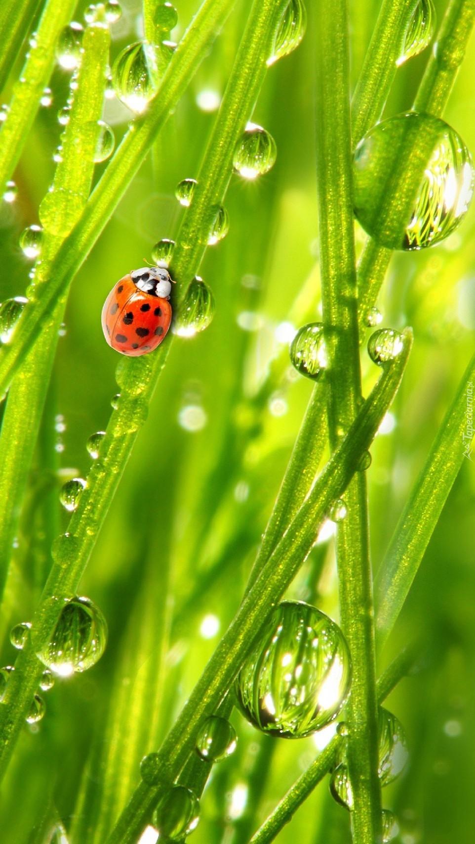 Biedronka na trawie w kroplach wody