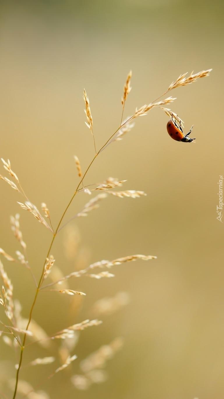 Biedronka na źdźble trawy