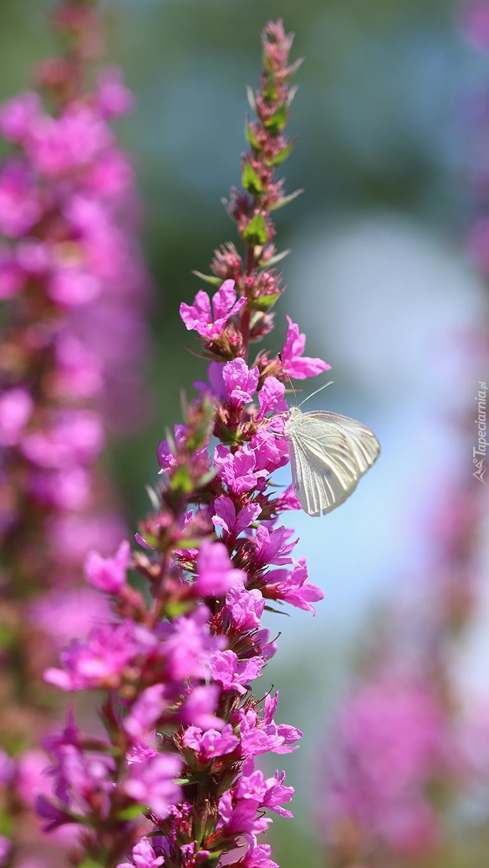 Bielinek kapustnik na kwiatku