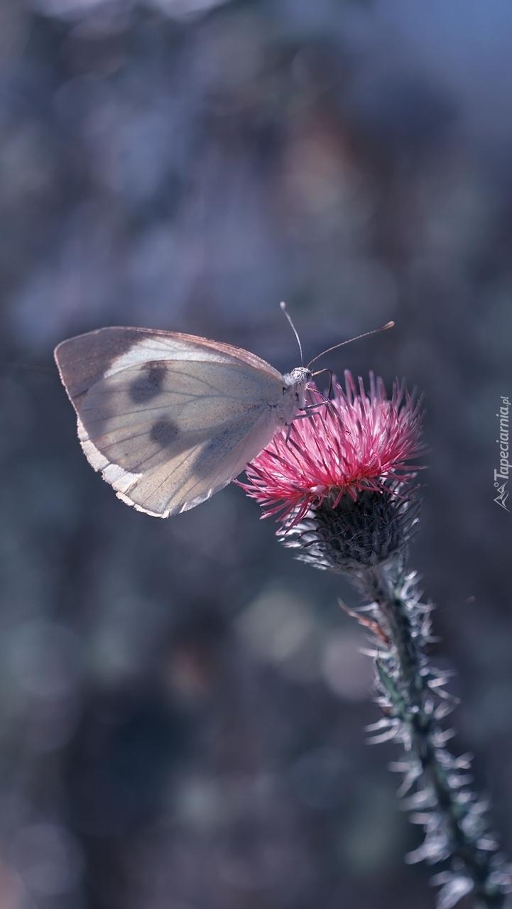 Bielinek na kwitnącym oście