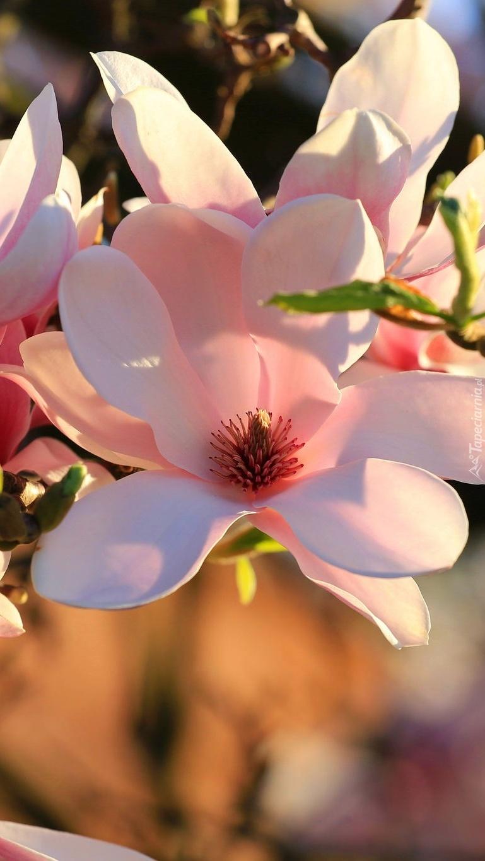 Bladoróżowa magnolia