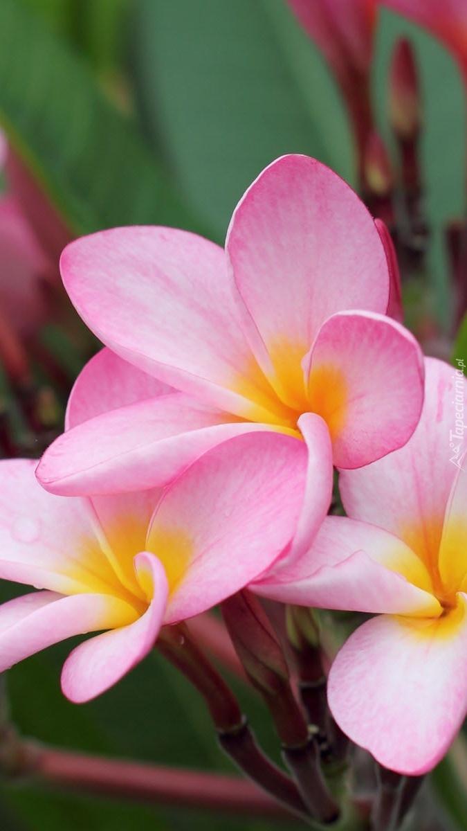 Bladoróżowe kwiaty plumerii
