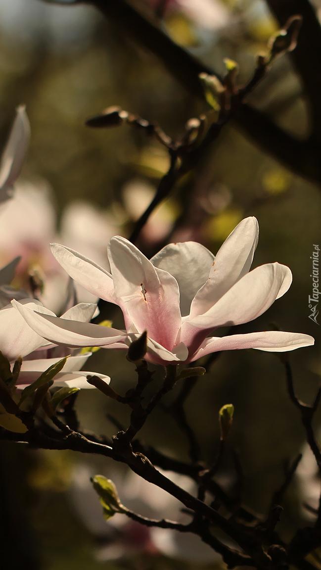 Bladoróżowe magnolie
