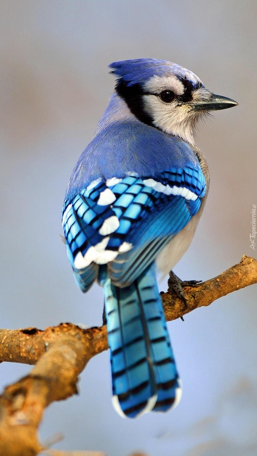 Błękitna modrosójka