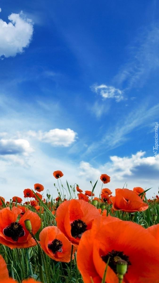 Błękitne niebo nad polem makowym