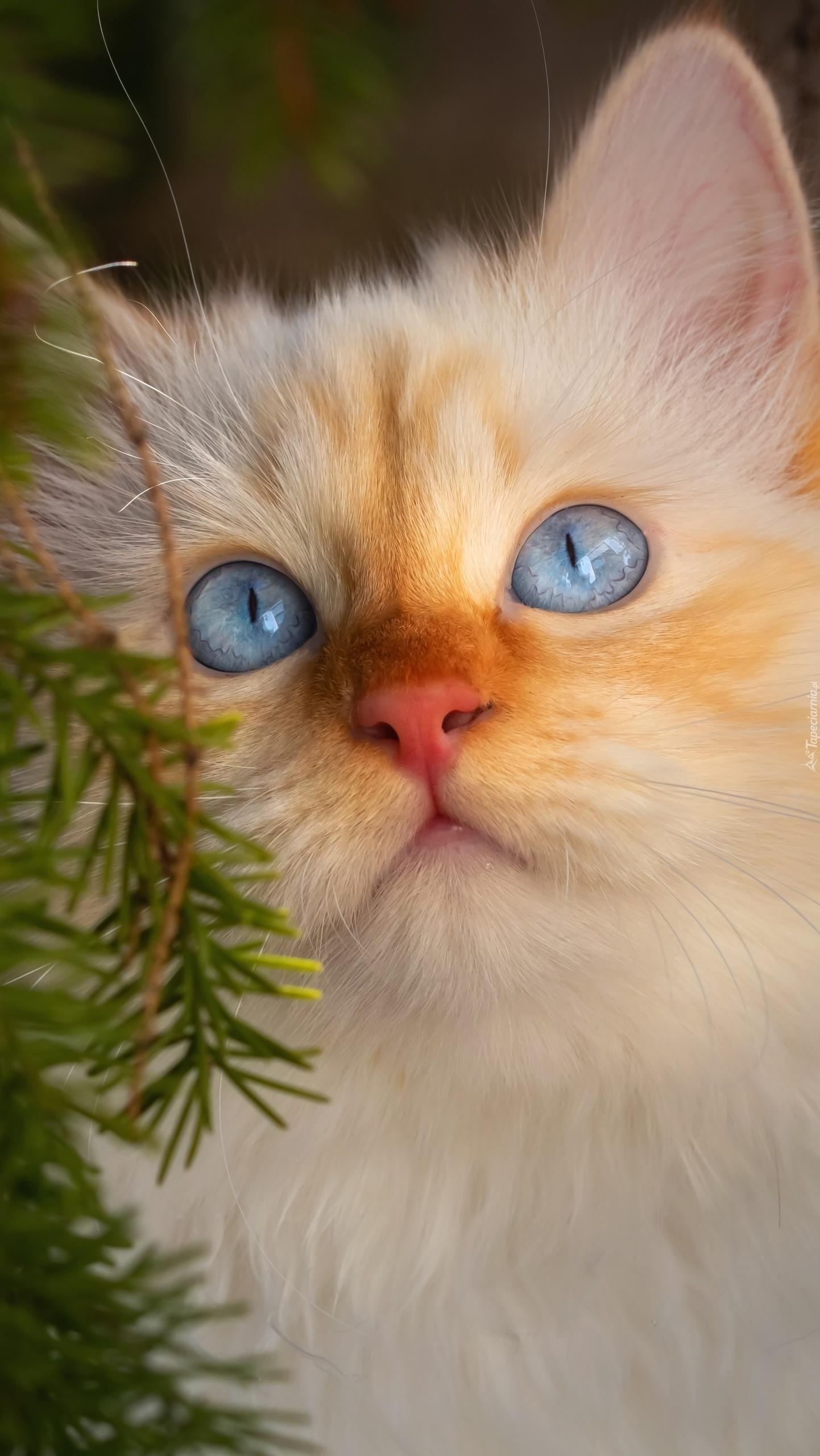 Błękitnooki kot
