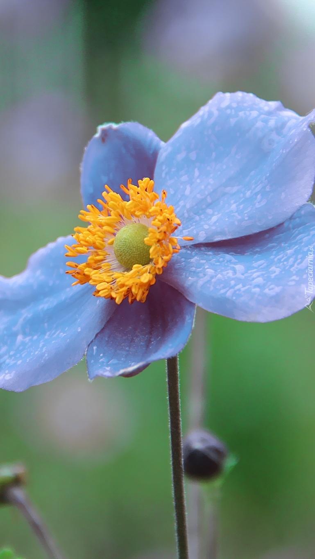 Błękitny zawilec