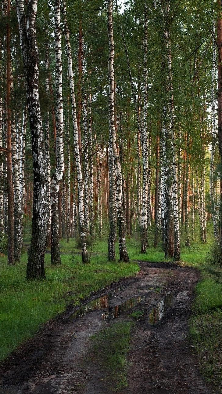 Błotnista droga w brzozowym lesie