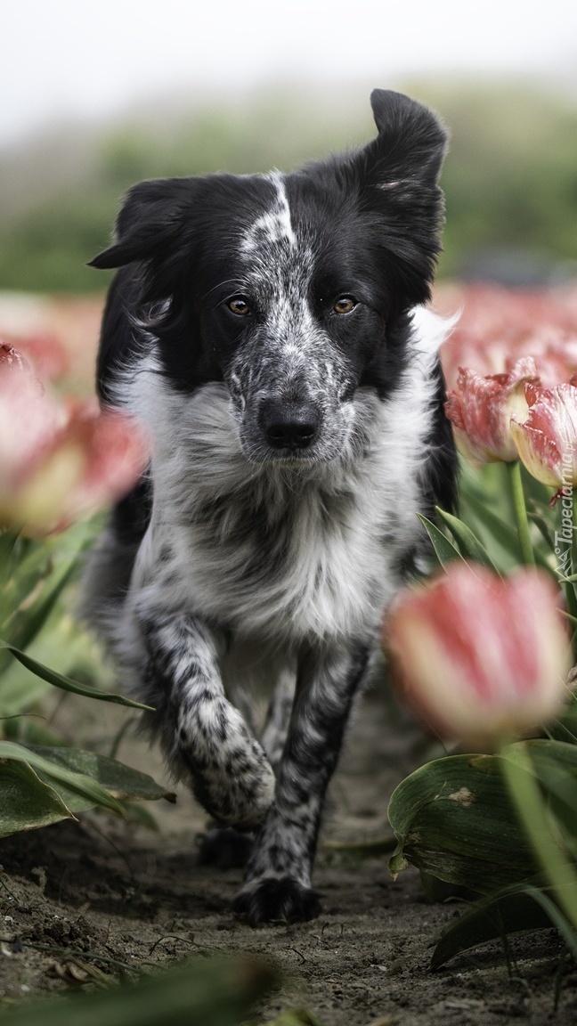 Border collie między tulipanami