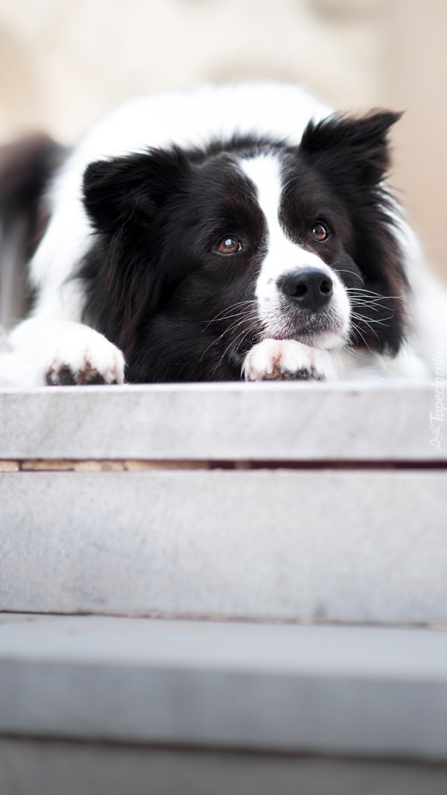 Border collie na schodach