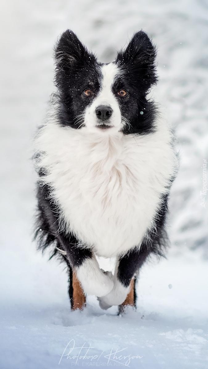 Border collie na śniegu