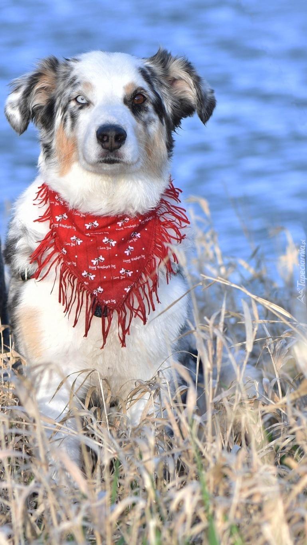 Border collie w czerwonej chuście
