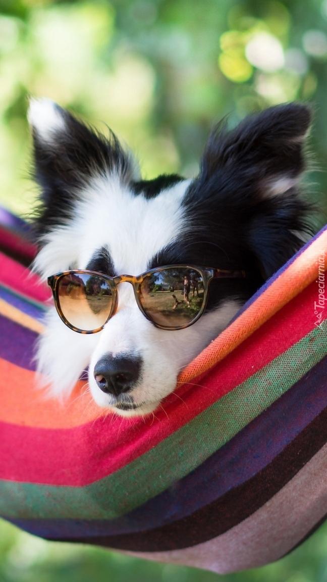 Border collie w okularach