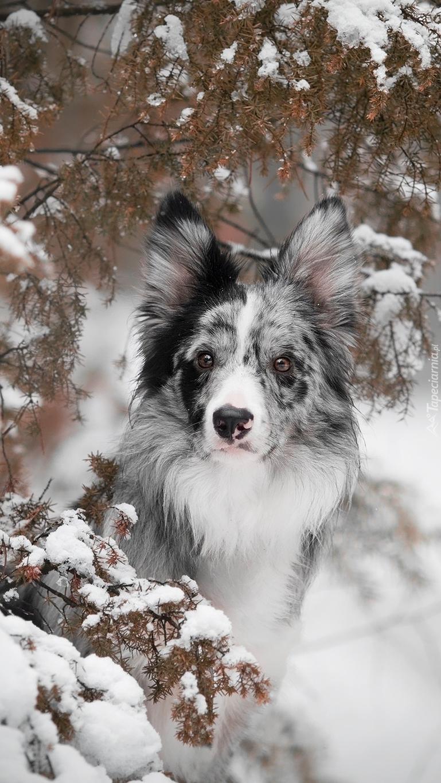 Border collie w śniegu pod gałązkami