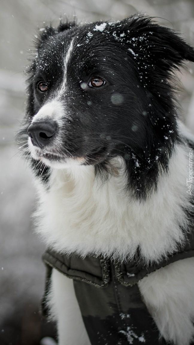 Border collie w śniegu