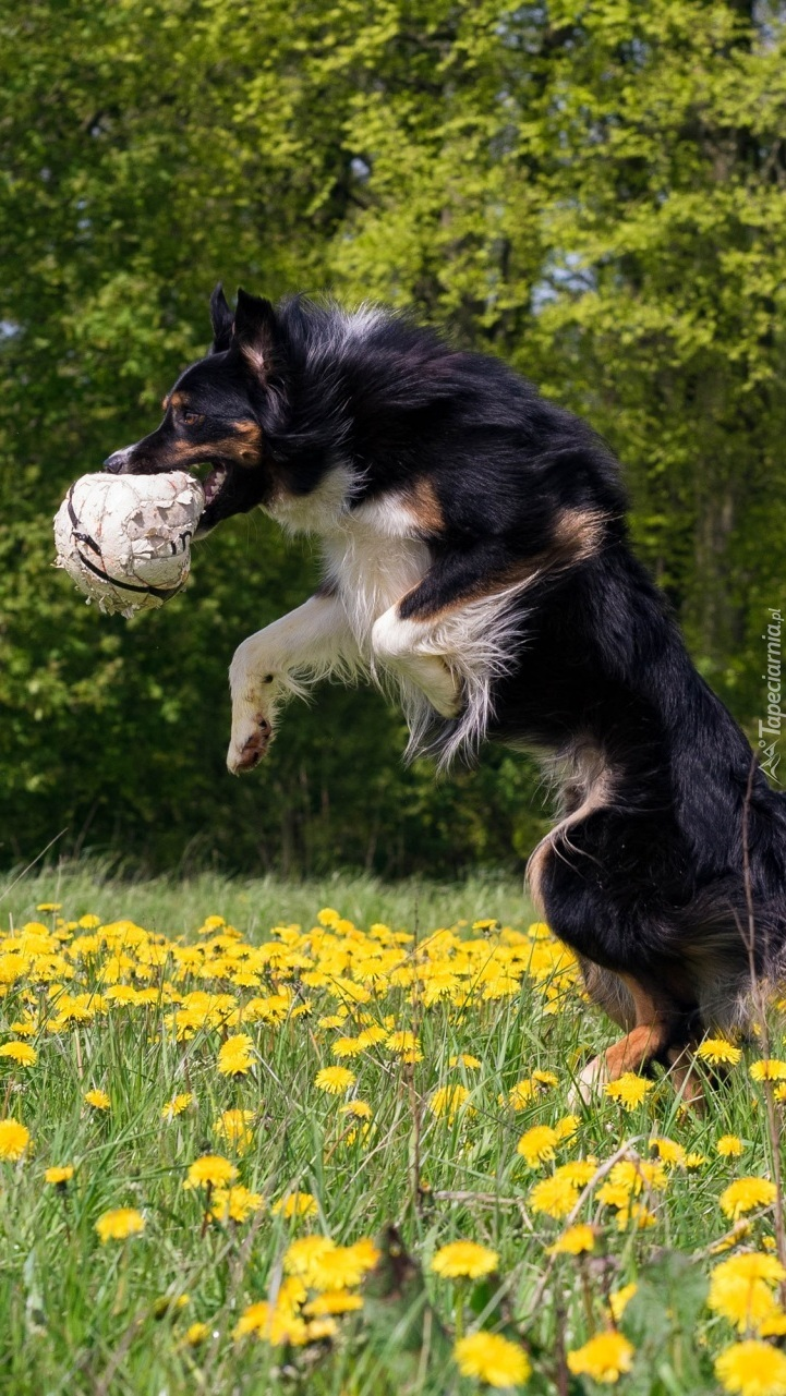 Border collie z piłką