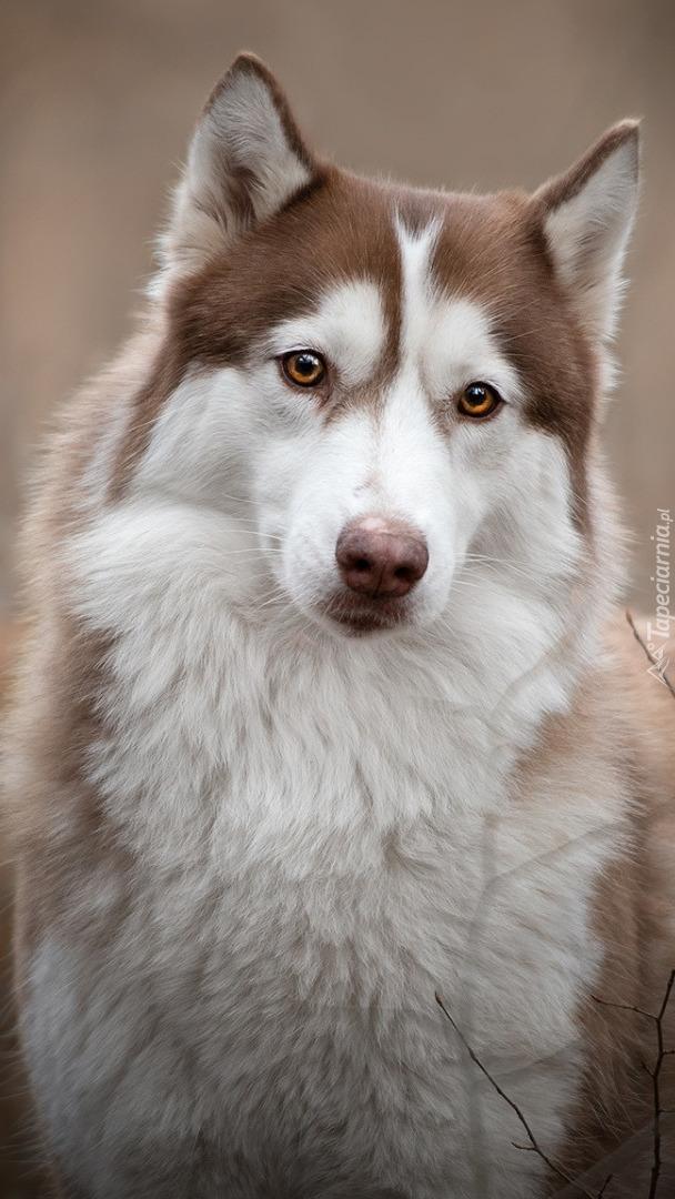 Brązowo-biały husky