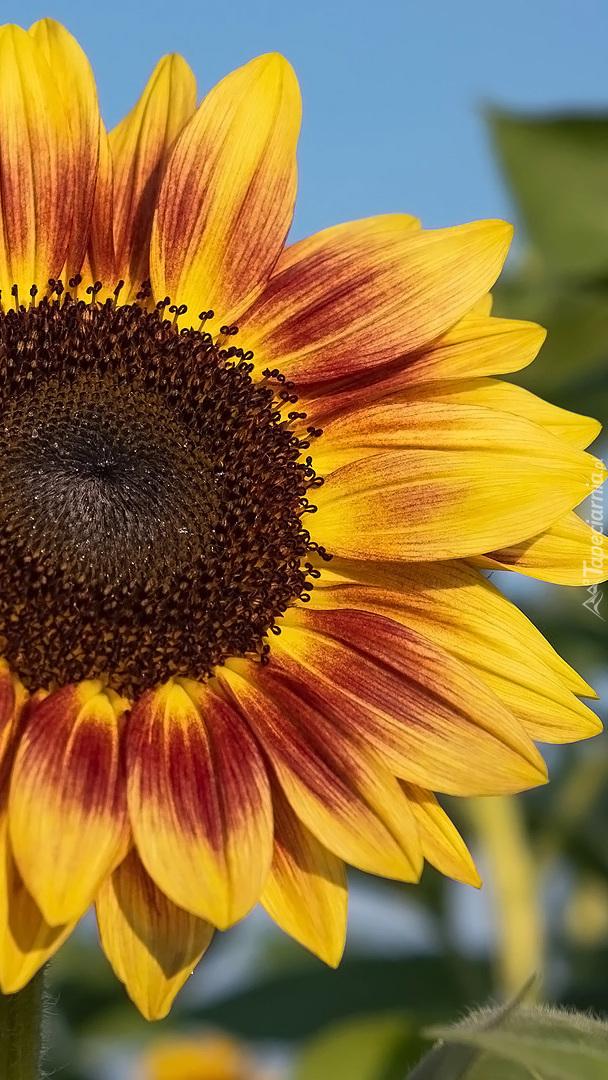 Brązowo-żółty słonecznik