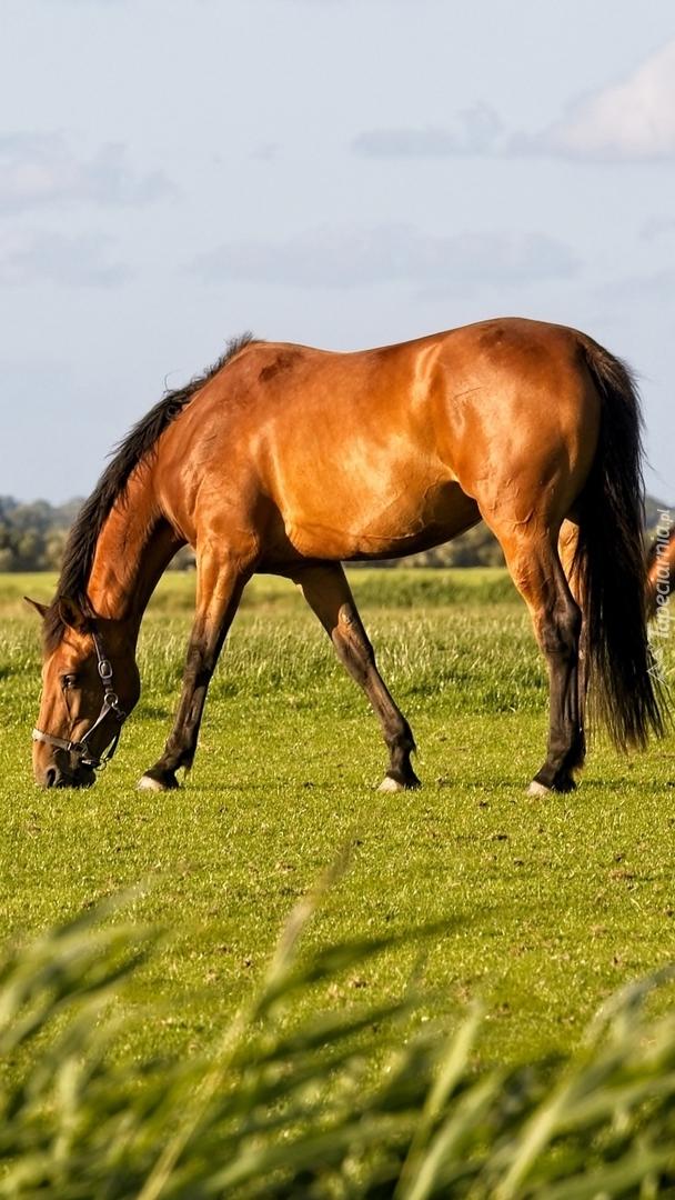 Brązowy koń na łące