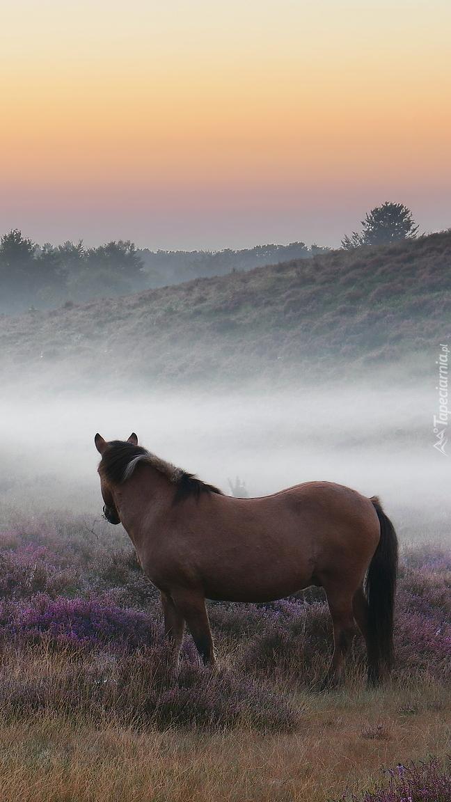 Brązowy koń na wrzosowisku