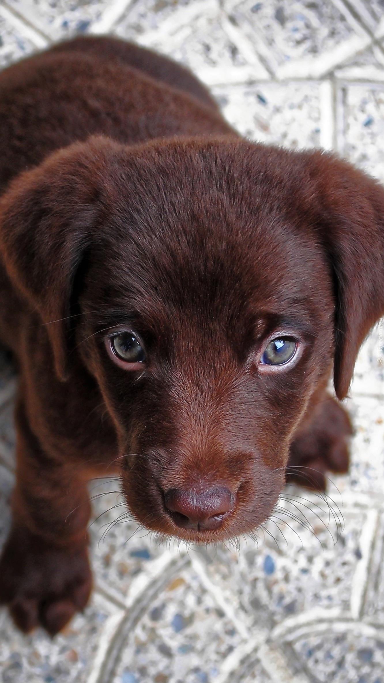 Brązowy szczeniak o smutnych oczach