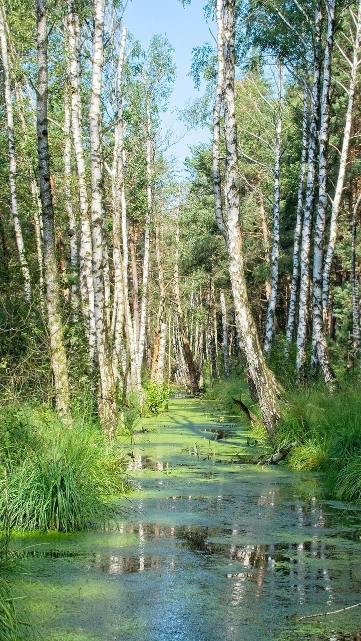 Brzozy nad leśnym stawem