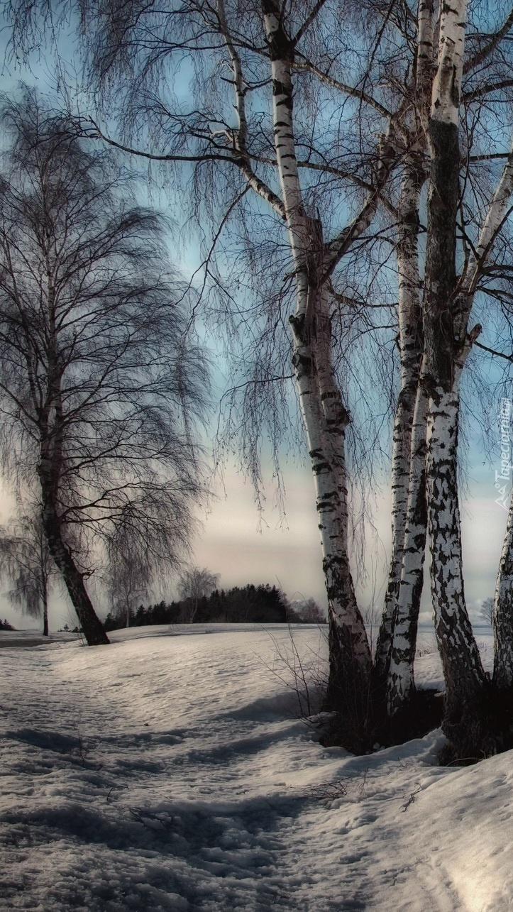 Brzozy przy zaśnieżonej drodze