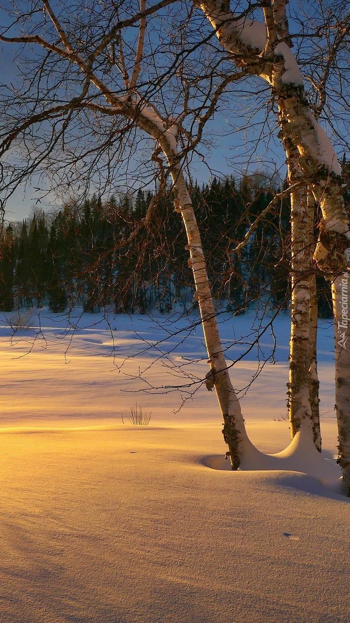 Brzozy w śniegu
