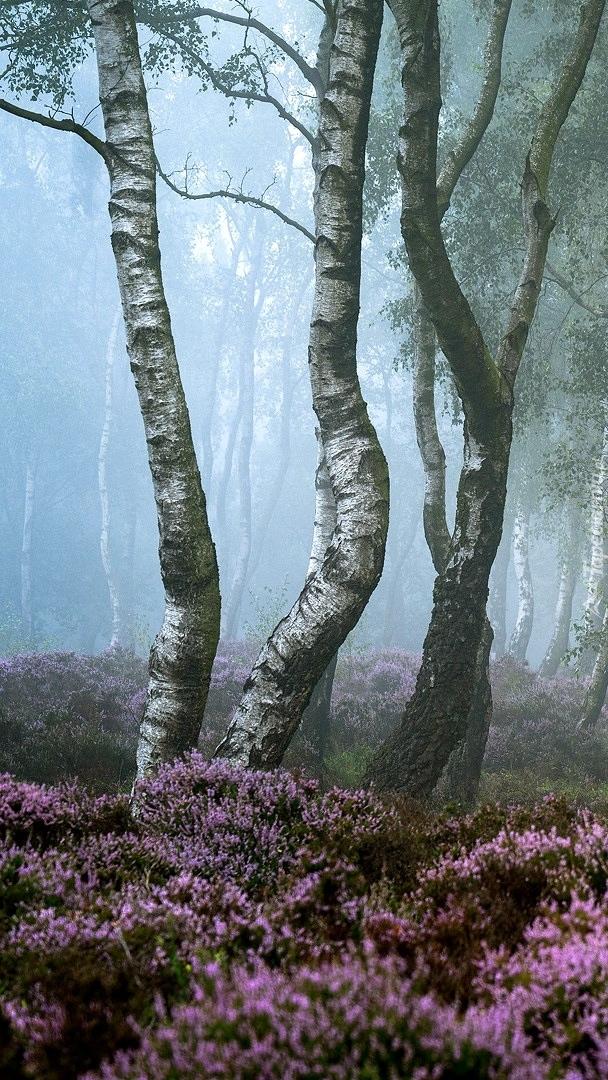 Brzozy we mgle na wrzosowisku