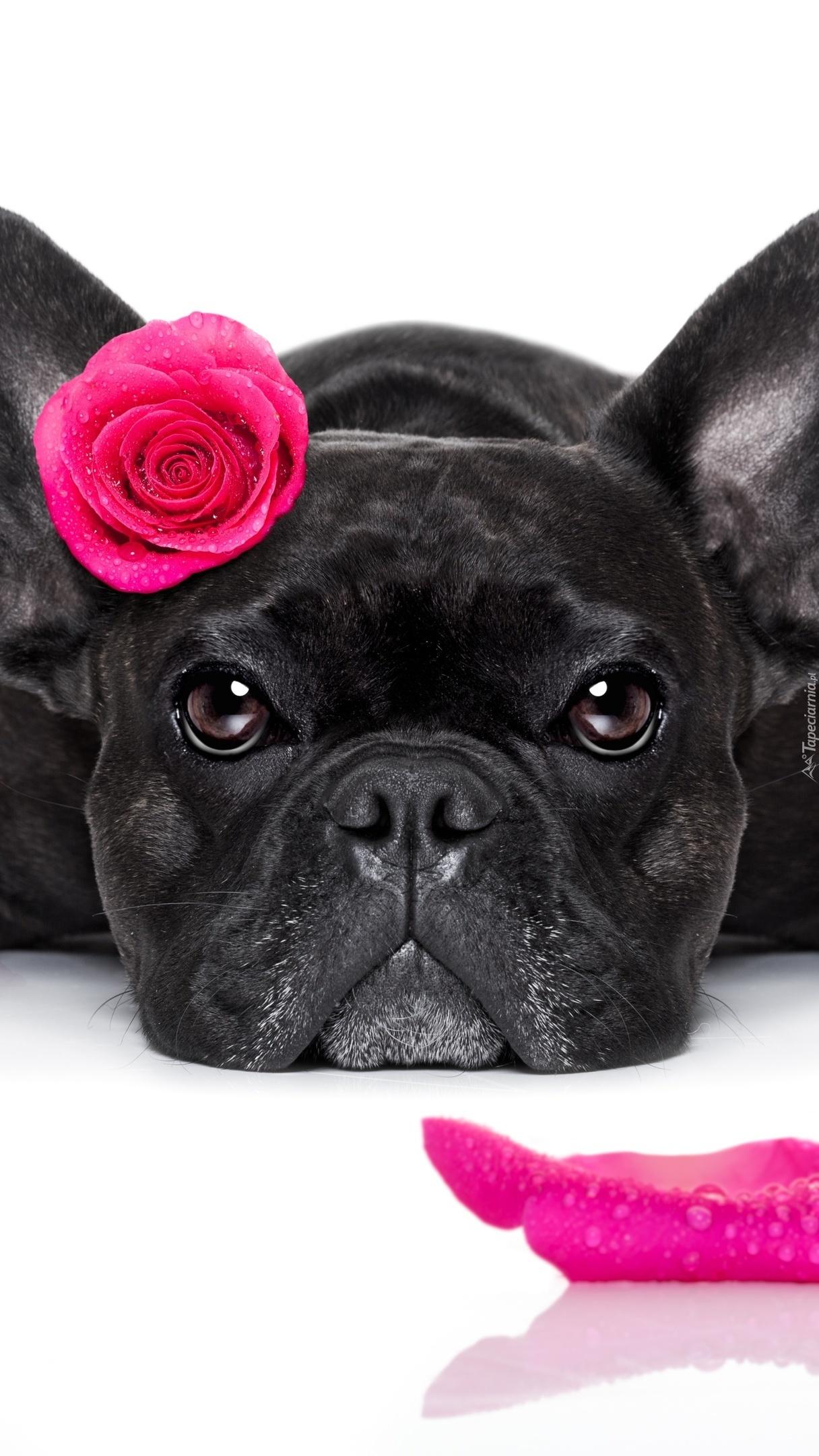 Buldog francuski z różą