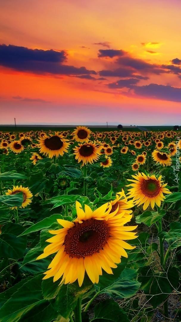 Buziaki słoneczka w blasku zachodzącego słońca