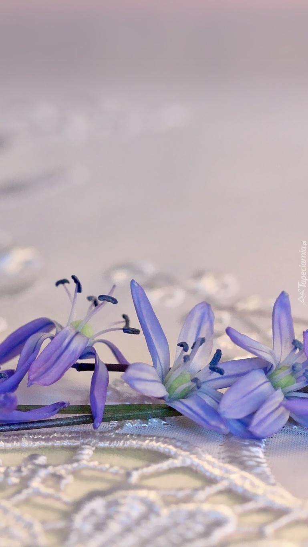 Cebulica syberyjska
