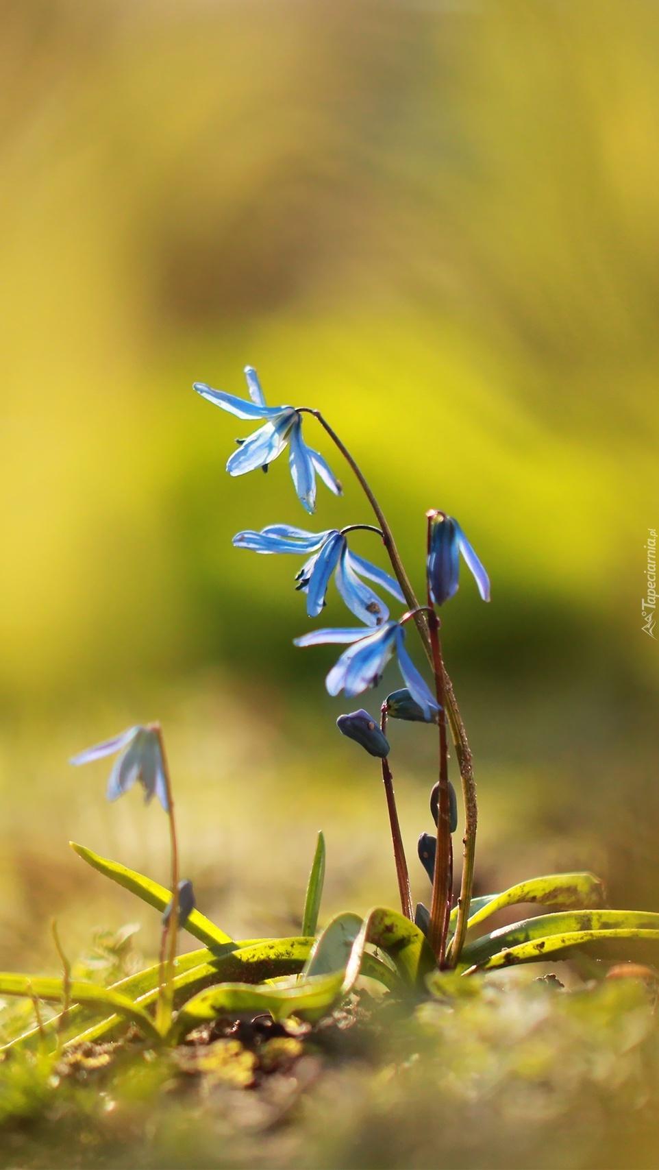 Cebulice syberyjskie niebieskie