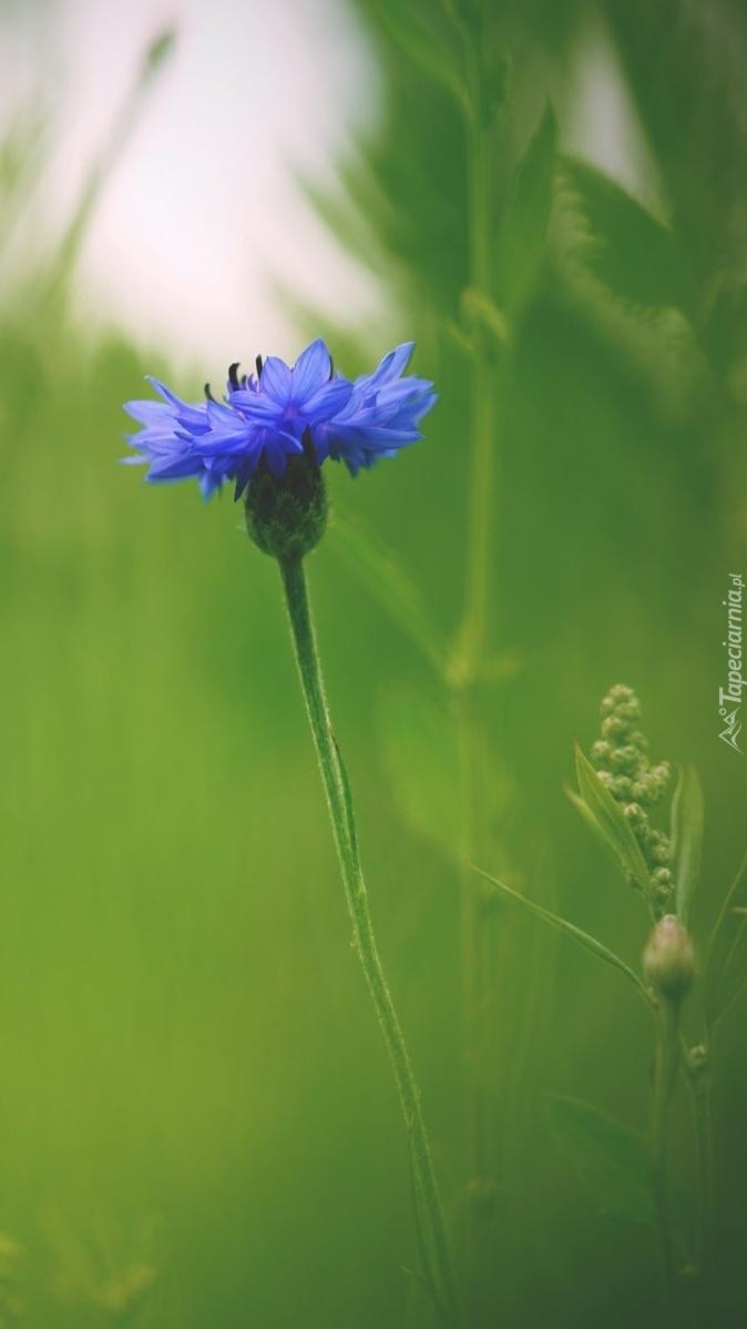Chaber w trawie