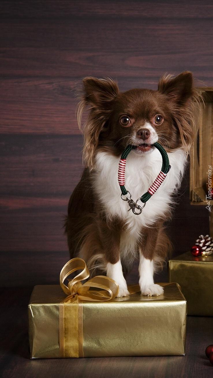 Chihuahua brązowo-biała