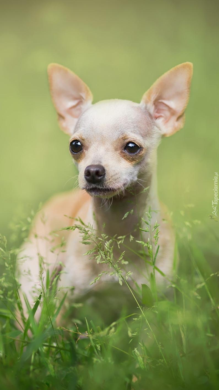 Chihuahua krótkowłosa w trawie