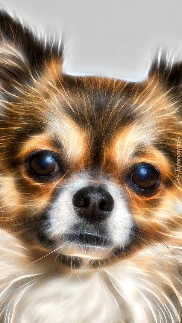 Chihuahua w grafice fractalius