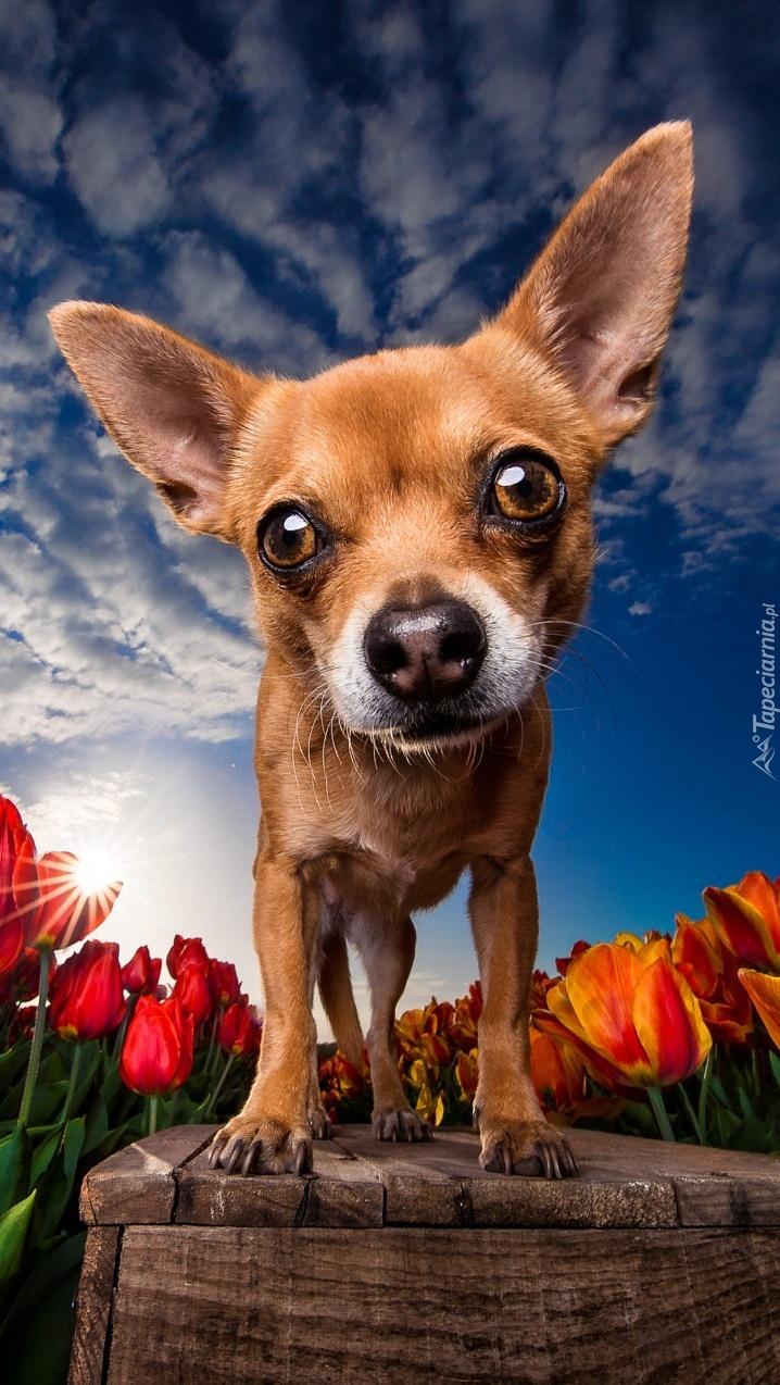 Chihuahua w zbliżeniu
