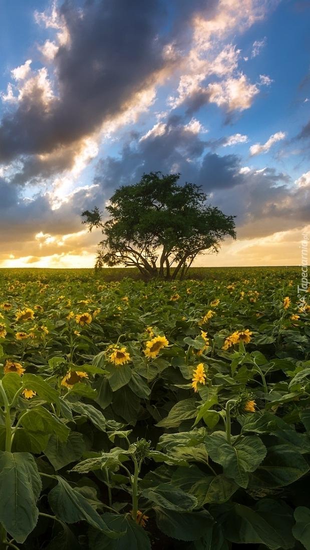 Chmury nad drzewem na polu słoneczników