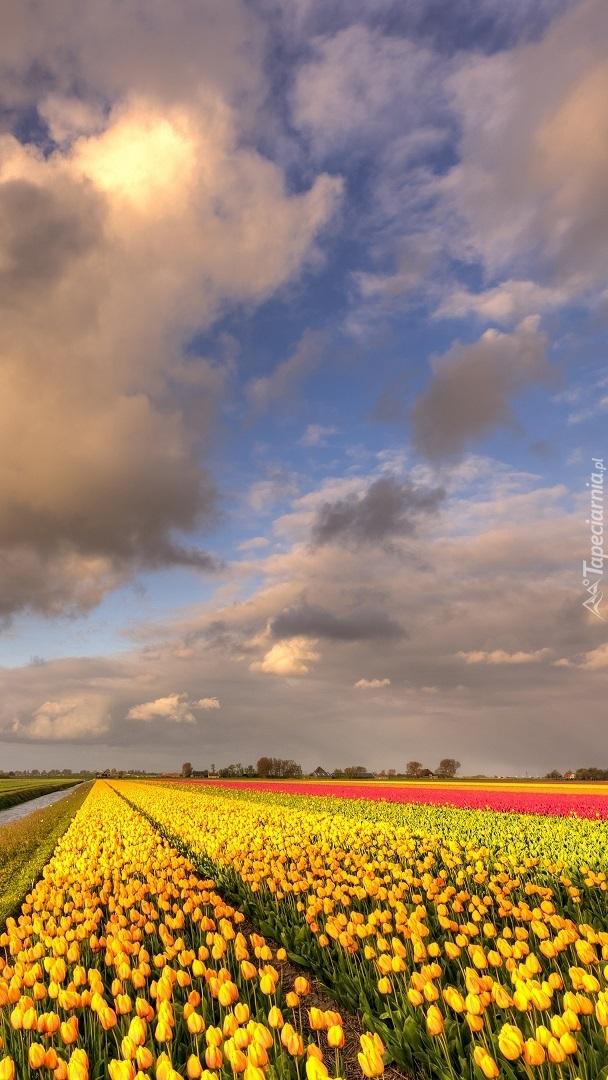 Chmury nad plantacją tulipanów