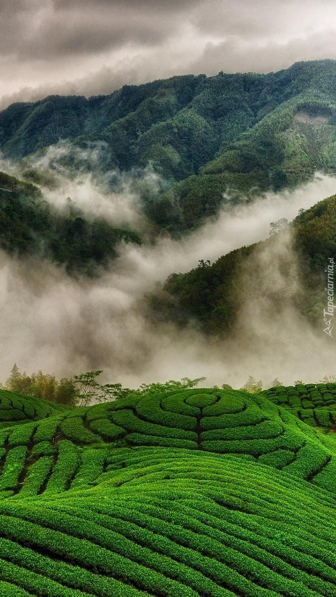 Chmury nad polami herbacianymi
