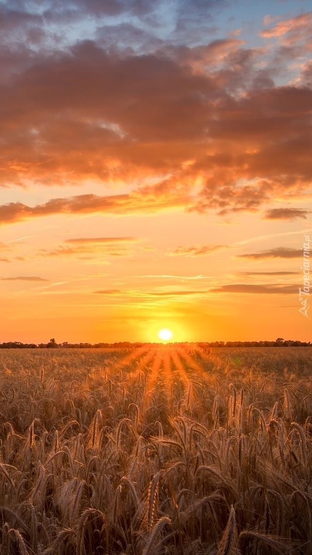 Chmury nad polem zboża o zachodzie słońca