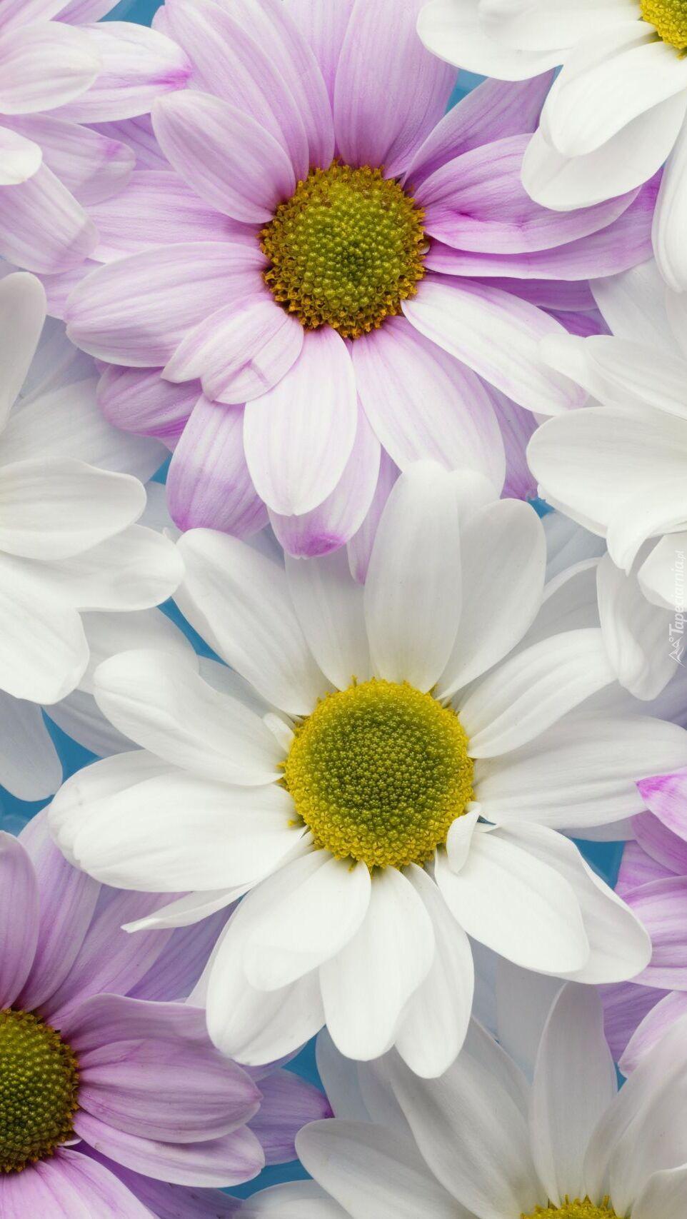 Chryzantemy białe i liliowe