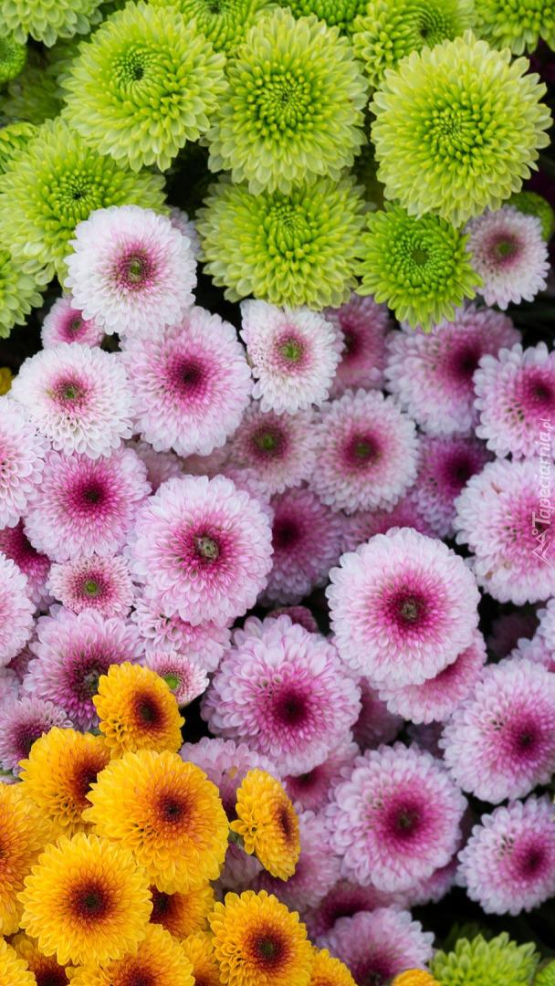 Chryzantemy drobnokwiatowe kolorowe