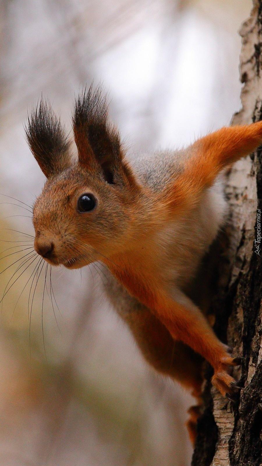 Ciekawska wiewiórka na drzewie