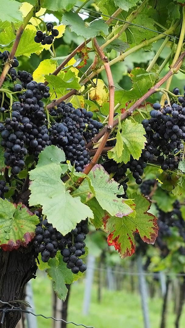 Ciemne winogrona na gałązkach