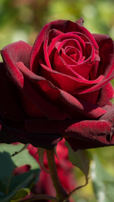 Ciemnoczerwona róża