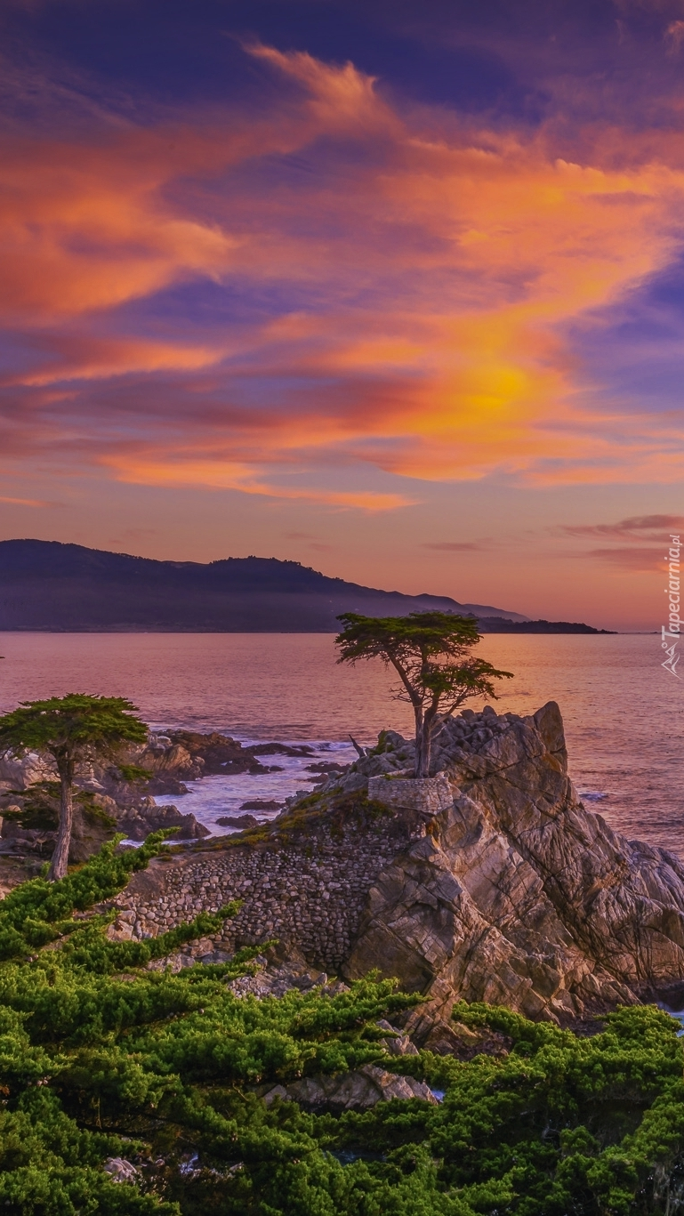 Cyprys na skale nad Zatoką Monterey