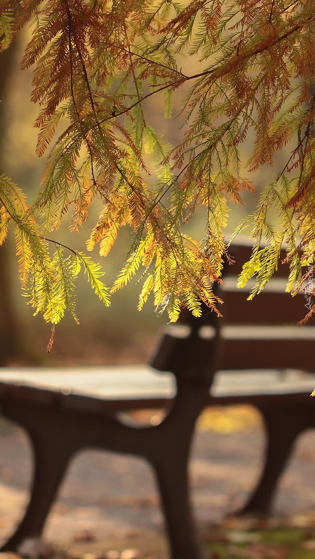 Cypryśnik z ławką w  tle